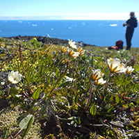 16. Tundra plants are often only a few centimeters tall – Dryas integrifolia growing on Disko Island, western Greenland (photo-copyright: Normand-Treier)