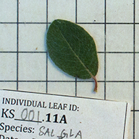 17. Leaf of a Salix glauca plant collected for trait analyses (photo-copyright: Normand-Treier)