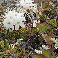 19. Arctic Tundra Plant Species, Disko Island, Greenland, 2018 (photo copyright: Normand-Treier)