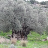 3. Old olive tree (Olea europaea) on Crete (photo-copyright: Normand-Treier)