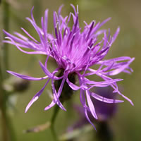 5. Centaurea maculosa syn. C. stoebe (photo-copyright: Normand-Treier)